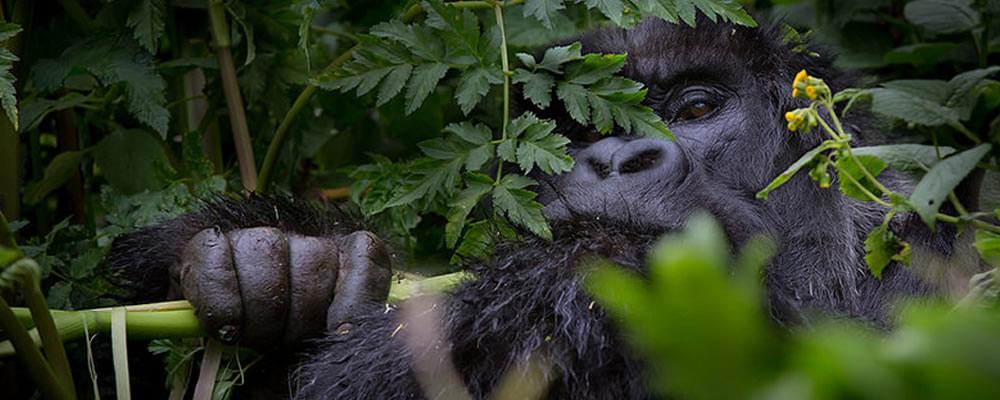 gorilla-tours-1