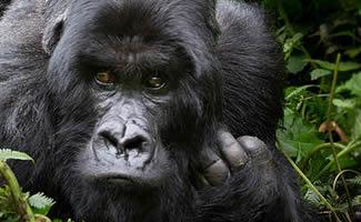 8 Days Uganda Rwanda Congo Safari