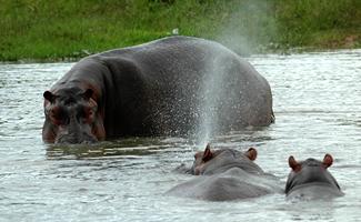 hippos uganda