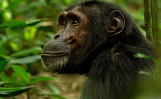 chimps tracking