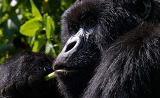 4 Days Gorilla Safari Uganda Rwanda